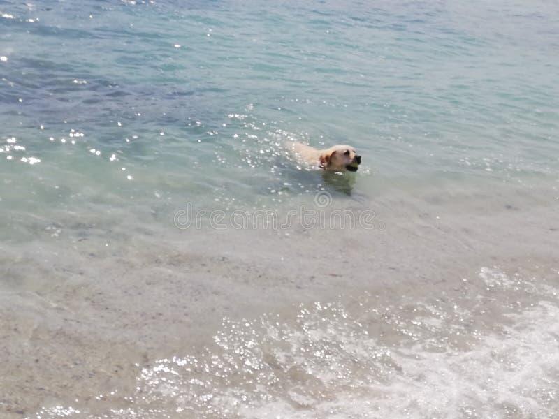 Labrador recoge y lleva la pelota fotos de archivo