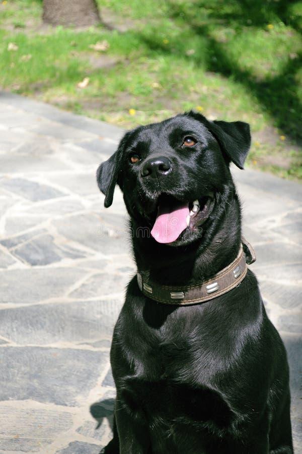 Download Labrador Retiever fotografering för bildbyråer. Bild av tänder - 37346957