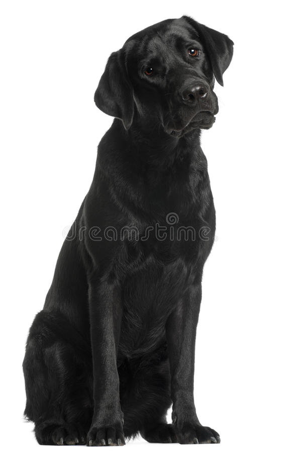 Labrador Retriever, 10 months old, sitting. In front of white background stock photo
