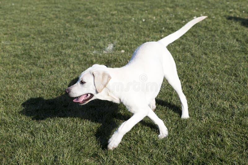 Labrador retriever lizenzfreies stockbild