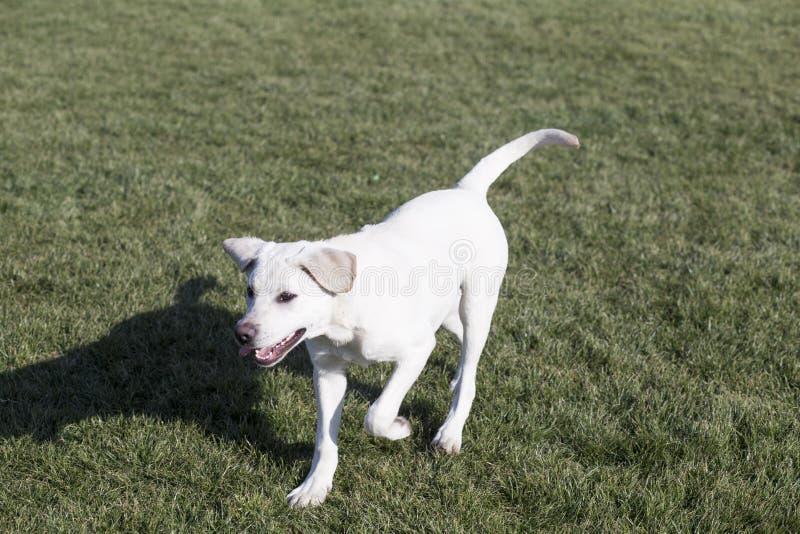 Labrador retriever zdjęcie stock
