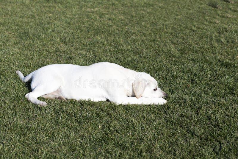 Labrador retriever zdjęcia royalty free