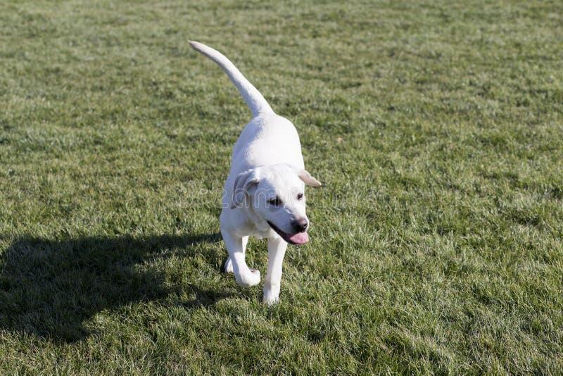 Labrador retriever lizenzfreie stockbilder