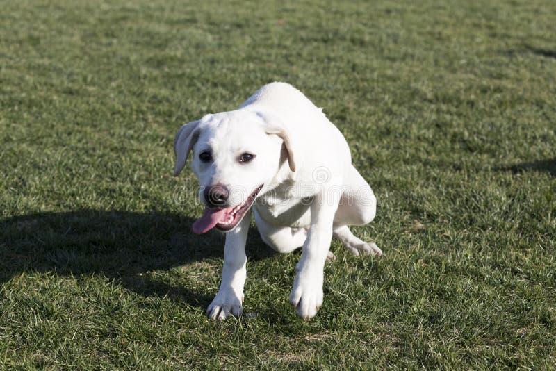 Labrador retriever obrazy royalty free