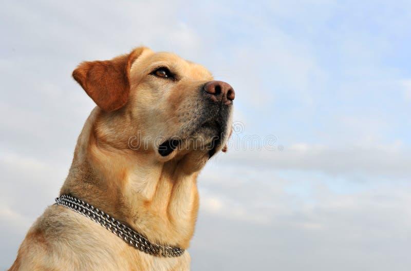 Labrador Retriever Royalty Free Stock Photography