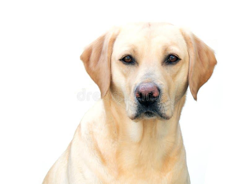 Download Labrador retriever stock image. Image of face, blonde - 13451011
