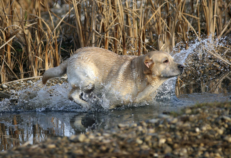 Labrador Retriever. Working in the field, jumping in the water royalty free stock image