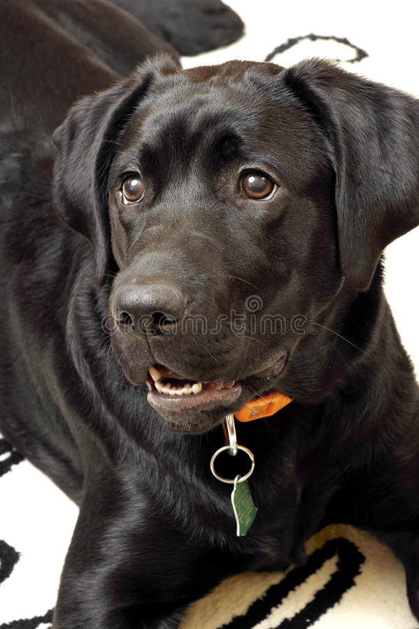 Labrador Retriever. Dog-Labrador Retriever Black puppy royalty free stock photo