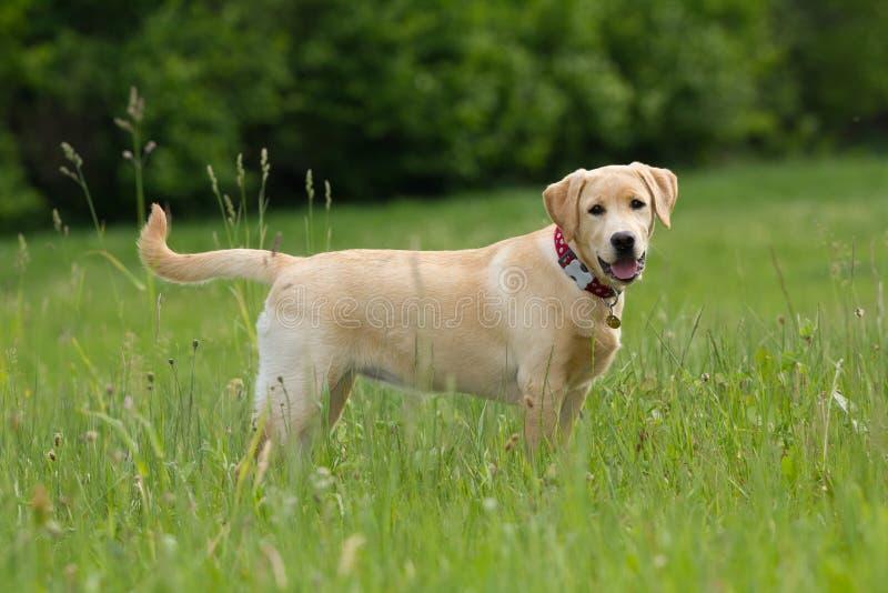 Labrador retriever imagenes de archivo