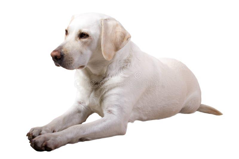 Labrador retriever stock image