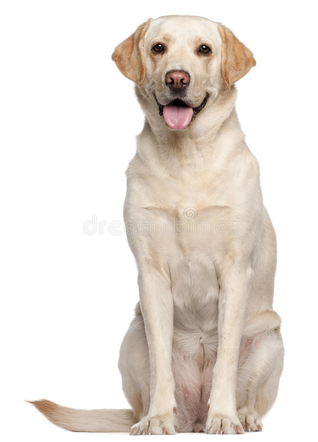 Labrador Retriever, 4 years old, sitting. In front of white background stock images