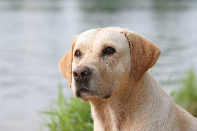 Labrador retriever. Portrait, wet coat royalty free stock photos