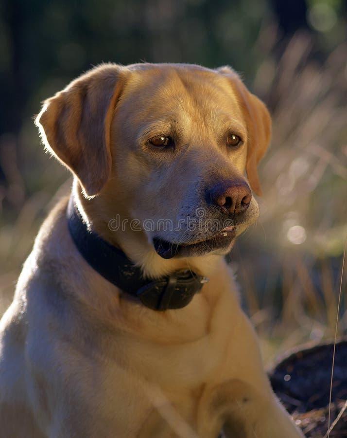 Free Labrador Retriever Stock Images - 6325424