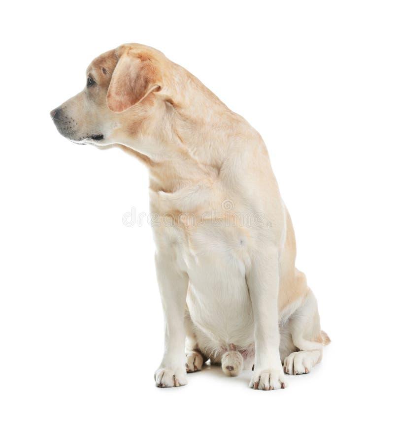 Labrador retriever adorable que se sienta en blanco Perro encantador fotos de archivo libres de regalías