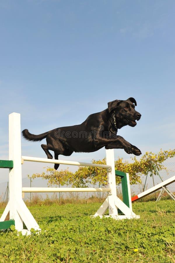 Labrador retriever in agility. Purebred labrador retriever jumping in a training of agility stock photo