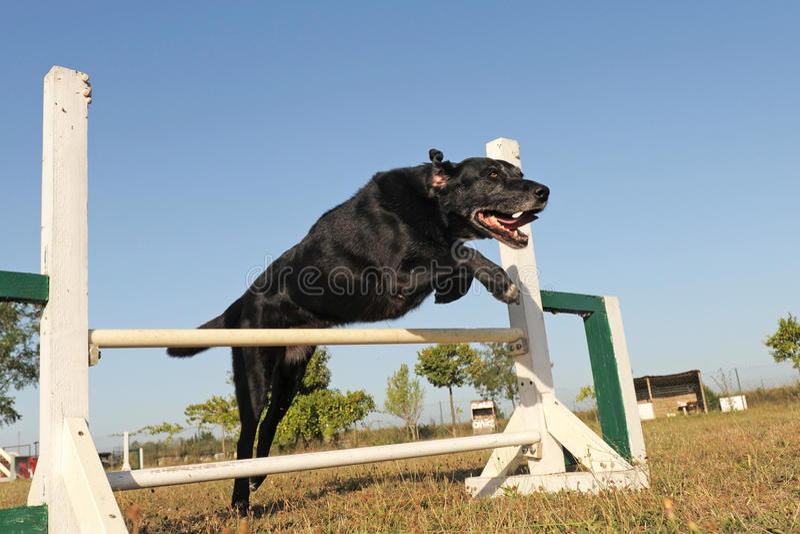 Labrador retriever in agility. Purebred old labrador retriever jumping in a training of agility royalty free stock image