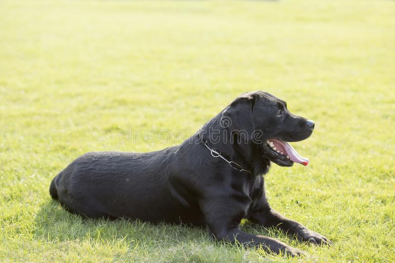Labrador Retriever. Also known as the retriever, is a large dog, which is very suitable for being chosen as a guide dog or subway dog and dog and other working stock photo