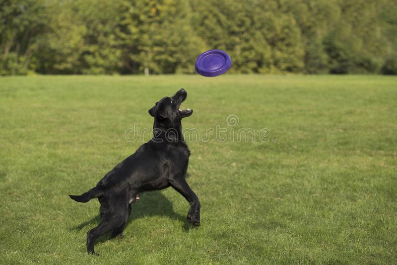Labrador Retriever. Also known as the retriever, is a large dog, which is very suitable for being chosen as a guide dog or subway dog and dog and other working royalty free stock photo