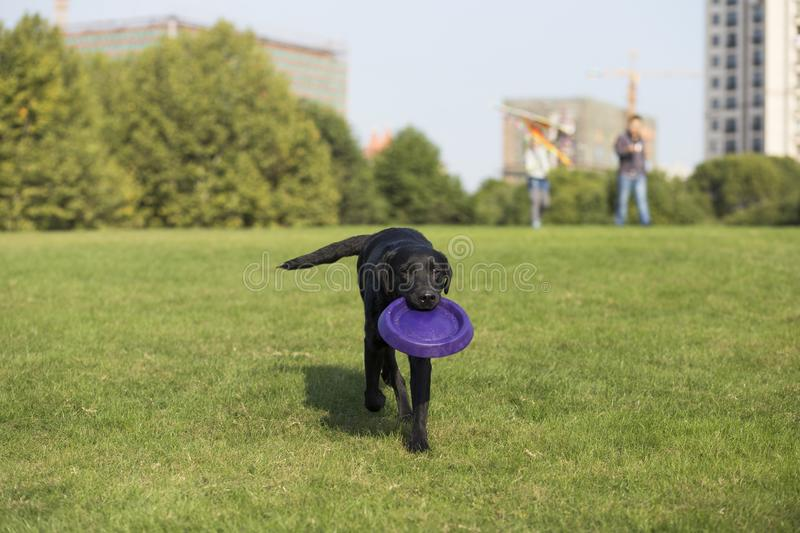 Labrador Retriever. Also known as the retriever, is a large dog, which is very suitable for being chosen as a guide dog or subway dog and dog and other working stock images