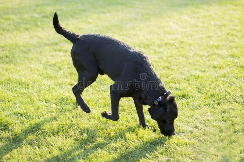 Labrador Retriever. Also known as the retriever, is a large dog, which is very suitable for being chosen as a guide dog or subway dog and dog and other working royalty free stock photography