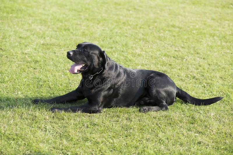 Labrador Retriever. Also known as the retriever, is a large dog, which is very suitable for being chosen as a guide dog or subway dog and dog and other working stock photography