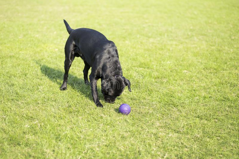 Labrador Retriever. Also known as the retriever, is a large dog, which is very suitable for being chosen as a guide dog or subway dog and dog and other working stock photos