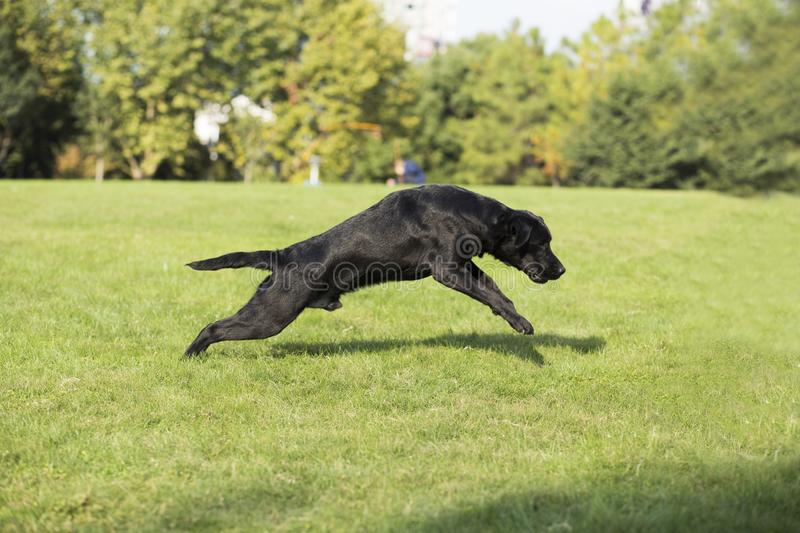 Labrador Retriever. Also known as the retriever, is a large dog, which is very suitable for being chosen as a guide dog or subway dog and dog and other working stock image