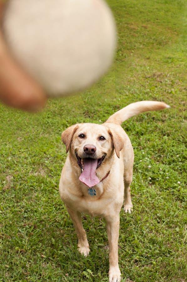 Labrador retriever amarelo que busca a bola fotos de stock