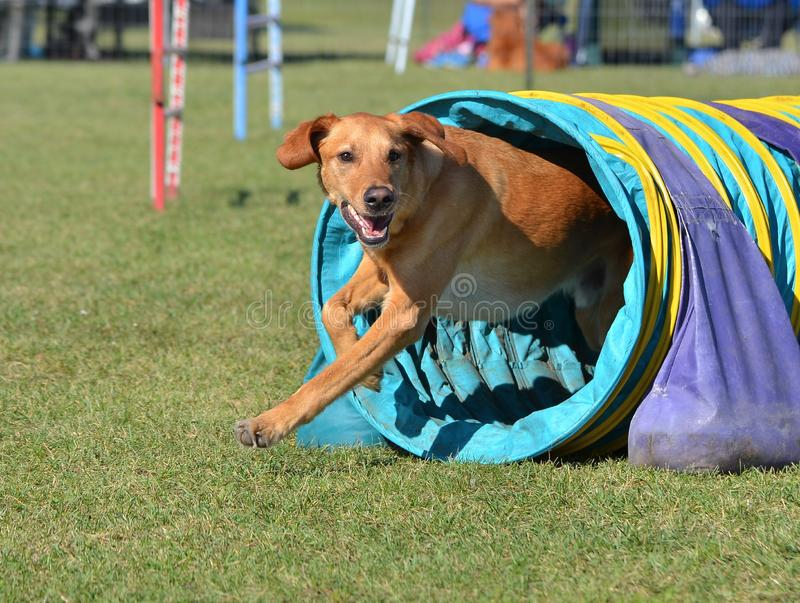 Labrador retriever amarillo en un ensayo de la agilidad del perro fotos de archivo
