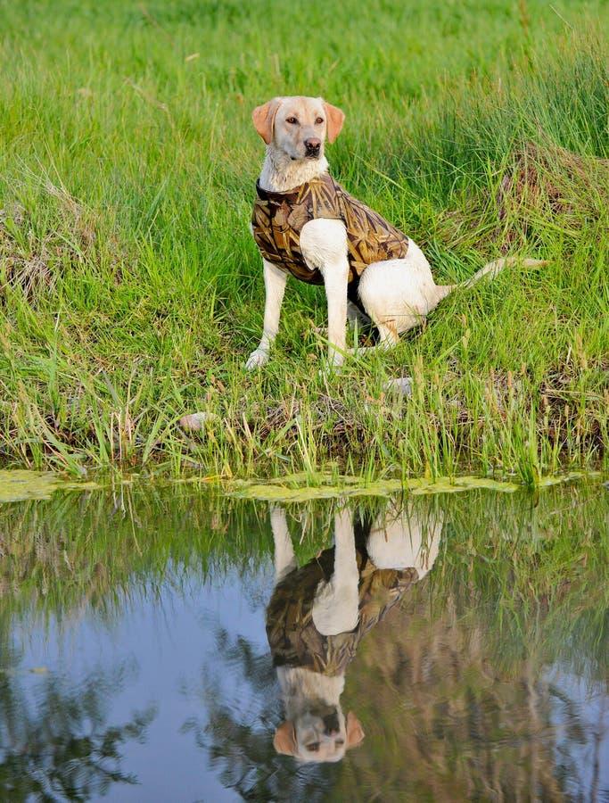 Labrador retriever amarillo que se sienta por una charca lista para ser entrenado fotografía de archivo libre de regalías