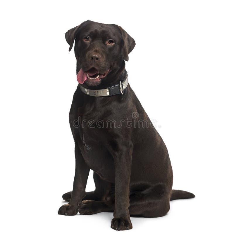 Labrador retriever (bambino di 1 anno) immagini stock