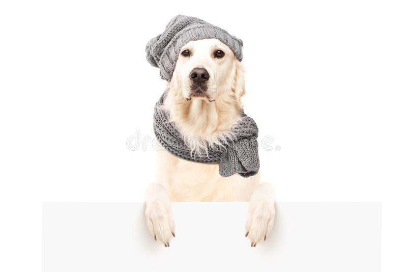 Labrador retriever behind blank panel stock photo