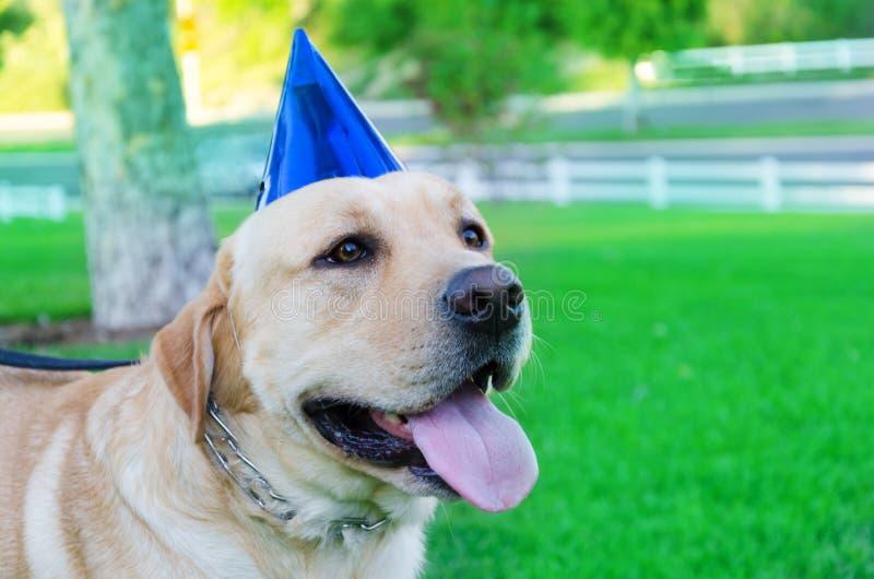 Labrador retriever with birthday hat. Portrait of Labrador retriever with birthday hat royalty free stock image