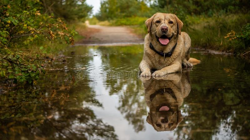 Labrador retriever blanc et sale se reposant dans le magma photographie stock libre de droits