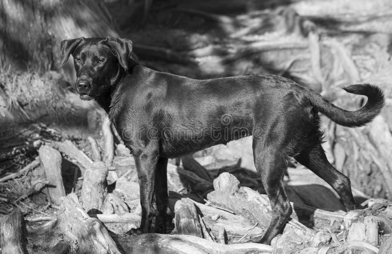Labrador-retriever breed dog at red bud isle, austin texas royalty free stock image