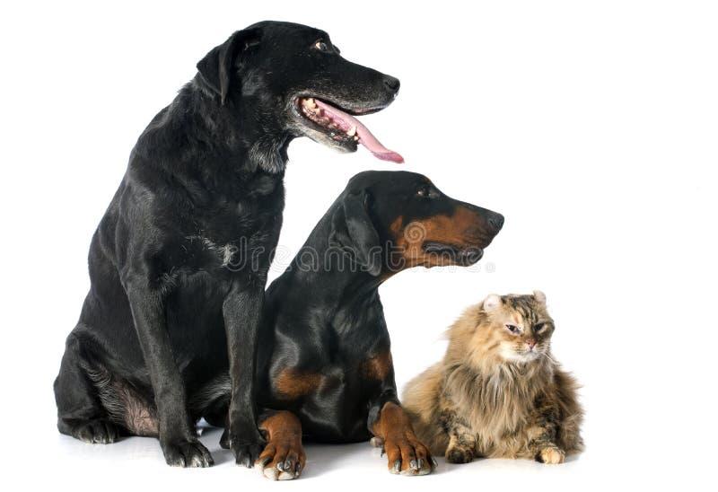Labrador retriever, cat and dobermann stock images