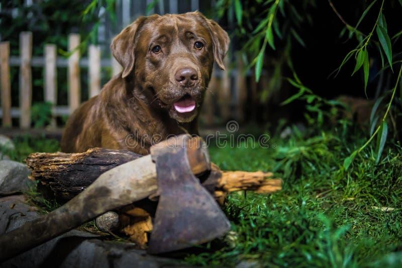 Labrador retriever. Chocolate labrador. Brown dog on green background. royalty free stock photography