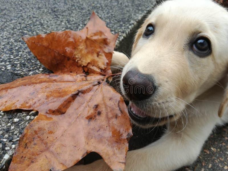 Labrador retriever con la hoja del árbol fotografía de archivo