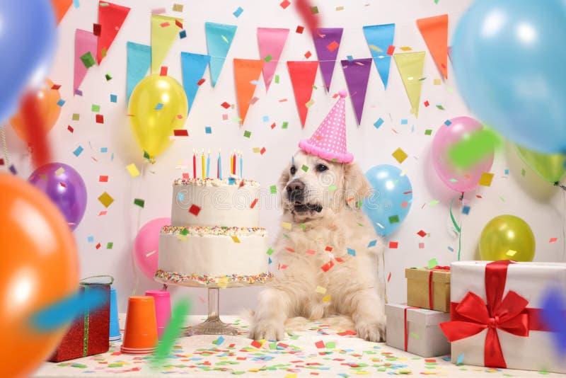 Labrador retriever con un sombrero del partido y una torta de cumpleaños imágenes de archivo libres de regalías