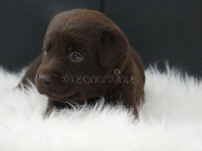 Labrador Retriever czekoladowy szczeniak na białym futerku obraz stock