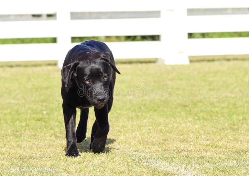 Labrador Retriever (czerń) obraz stock