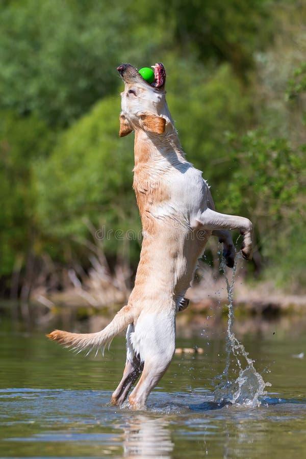 Labrador retriever, das in einen See springt, um einen Ball zu fangen stockbild