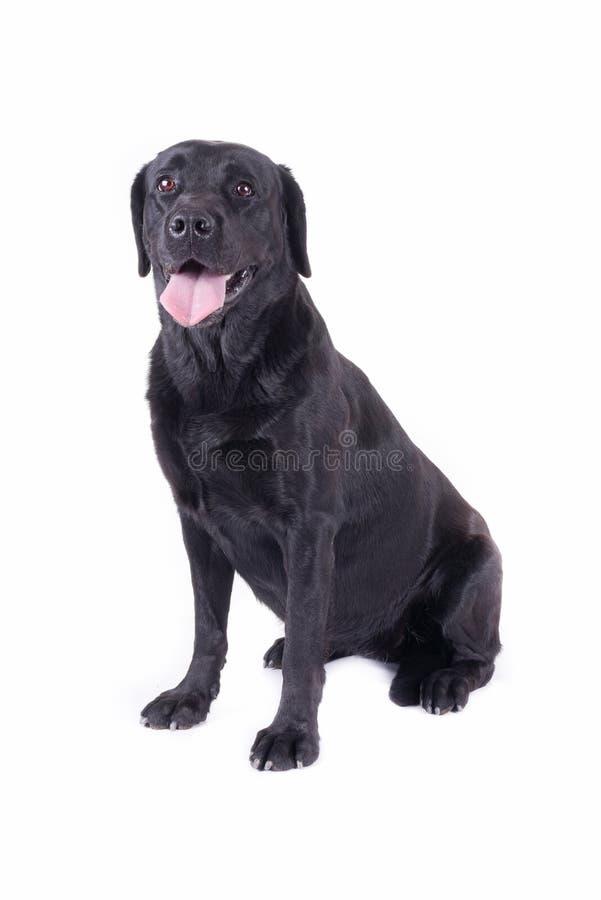 Labrador retriever davanti allo studio bianco fotografia stock