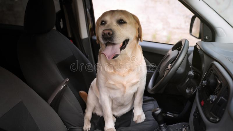 Labrador retriever de oro divertido que se sienta en el asiento de conductor del coche moderno foto de archivo