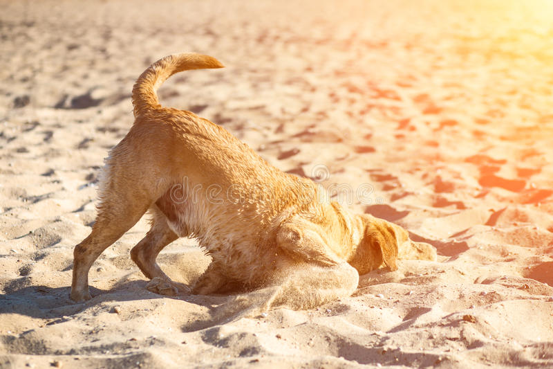 Labrador retriever dog on beach. Red-haired retriever lying in the sand. Sun flare. Labrador retriever dog on beach. Dog on the sand near the river. Red-haired royalty free stock images