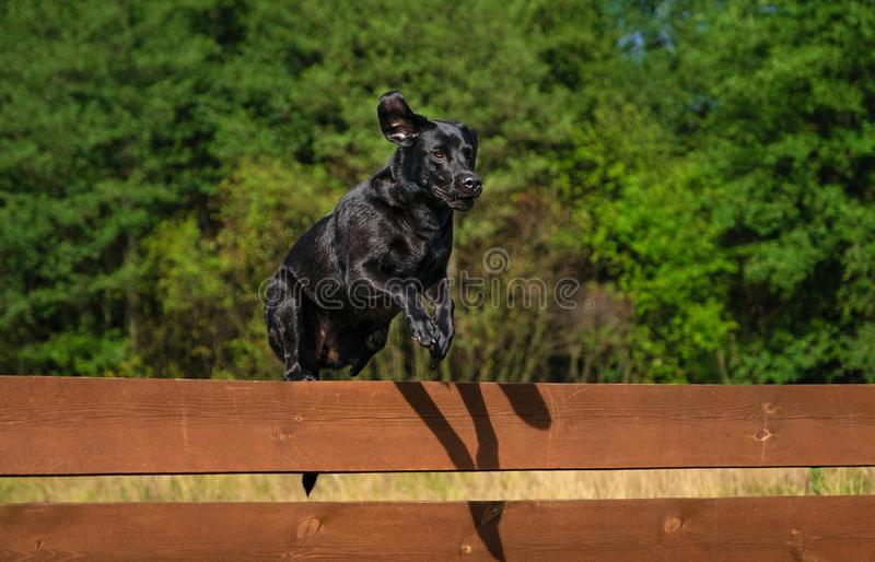Labrador Retriever dog jumping. Over the fence royalty free stock images