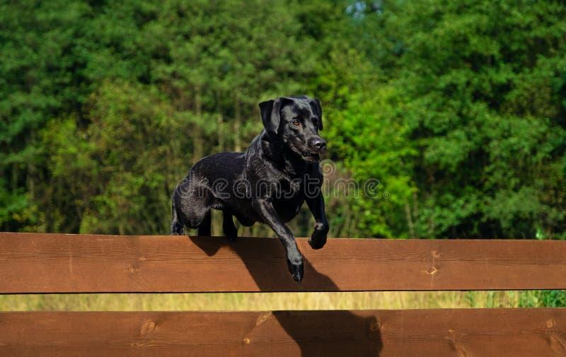 Labrador Retriever dog jumping. Over the fence royalty free stock photos