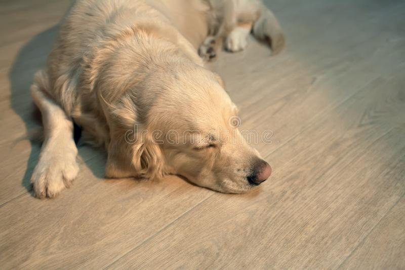 Labrador retriever dog lying on the floor stock photography