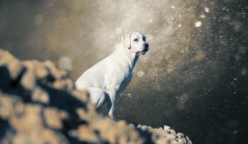 Labrador retriever dog puppy on hill - abstract stormy background royalty free stock image