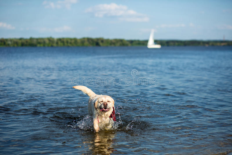 Labrador Retriever dog running through water creating huge splash and water droplets. A dog in a red collar royalty free stock photos